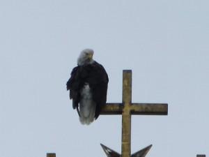 Bald Eagle in Sitka
